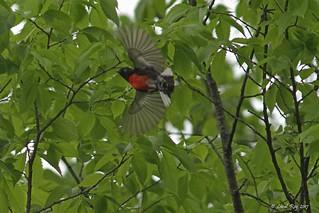 1.27959 Paruline à ailes blanches / Myioborus pictus pictus / Painted Redstart / Chipe Rey