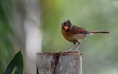 Cardinal  DSC_3455 (blthornburgh) Tags: thornburgh tampa florida sunshinestate songbird backyard nature outdoors garden bird cardinaliscardinalis cardinal femalecardinal
