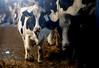 pawu036 (Otwarte Klatki) Tags: krowa krowy mleko zwierzęta cielak ferma andrzej skowron