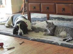 Sleepy Time Gals (frank kendrick) Tags: basset tabby feralcat indoor