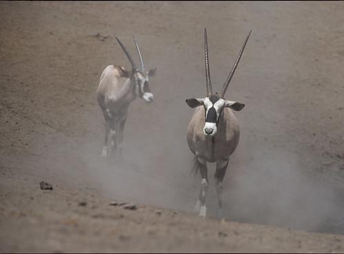 Gemsbok , Oryx , in the dust , Etosha  Game Reserve , 2300
