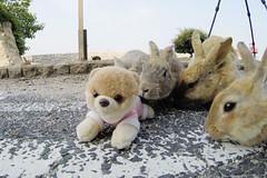 Rabbit Island in Japan 大久野島 (Wondergraphy) Tags: rabbit island japan hiroshima 大久野島 ck lim wondergraphy wonderfulphotography 広島 okunoshima gopro
