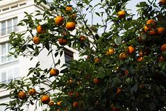 Appelsinar (dese) Tags: appelsinar oranges april26 2017 2017 april vår spring primavera europa roma rome italia italy europe naranjas apelsin naranča апельсин appelsintre sitrusfrukt citrus sitrus