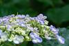 _DSC5258 (sayo-tsu) Tags: hydrangea 紫陽花 アジサイ saitama sattecity gongendopark 権現堂