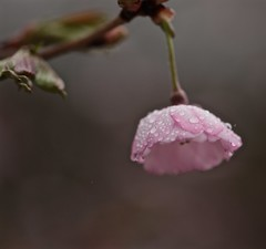 May Showers 004 (smilla4) Tags: bokeh cherryblossom pink raindrops waterdrops evening spring maine