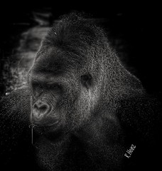 Kidogo Chef der Gorillaherde im Zoo Krefeld (rollirob) Tags: afrika dschungel gorilla kidogo herde olympus75300mm olympusomdem5markll