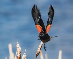 Bye Bye!! (edmason88) Tags: redwingedblackbird wings patches wetlands tamron150600 strathconacounty alberta