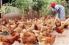 Chicken farm project