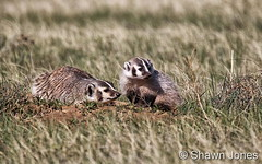 May 21, 2017 - Badger cubs enjoy the Colorado plains. (Shawn Jones)