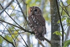 Tawny Owl   Strix aluco sylvatica (Steven Mcgrath (Glesgastef)) Tags: tawny owl bird prey raptor hunt perch glasgow robroyston uk wild wildlife nature scottish scotland europe strix aluco sylvatic