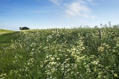 Umbellifers by the Track (stevedewey2000) Tags: wiltshire salisburyplain landscape flora wildflowers umbellifer umbelliferae barn sky sigma2470