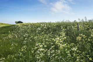 Umbellifers by the Track