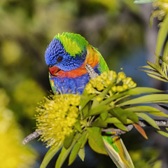 Hiiiiii... (merbert2012) Tags: australia queensland lorikeet rainbowlorikeet birds parrots nature home nikond800 tamron150600 wildlife colour fun