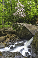 The Mountain Laurels are blooming at the falls. (Ulrich Burkhalter) Tags: 20170521 barkcampcreek danielboonenationalforerst funstoncomplex waterfalls cascades naturalarch imgp04163pedited1