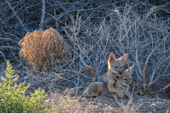 Pals (craig goettsch) Tags: hendersonbirdviewingpreserve2017 coyote pup animal mammal wildlife nature nikon d500 600mm sunrays5 coth5 fabuleuse