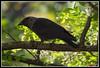 DSC_7844 SITO (torben84) Tags: corvidi corvi taccola cornacchia natura nature nikon d7200