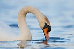 Mute swan (Cygnus olor) (Ville.V.) Tags: mute swan cygnus olor bird birds birding wild wildlife nature finland suomi