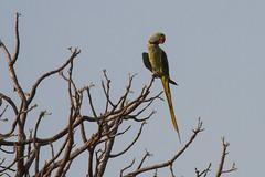 0601 Großer Alexandersittich - Alexandrine Parakeet (uwizisk) Tags: alexandrineparakeet groseralexandersittichpsittaculaeupatria india indien ranthambhorenationalpark