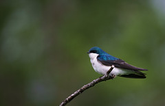 Perched Swallow (rmikulec) Tags: swallow tree branch wild wildlife animal migration breeding spring nature photography portrait noperson