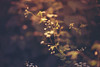 . (ammoniumchlorid) Tags: flora flowers bokeh nature natureycrap soft pastel dreamy dof canoneos6d ef50mmf114