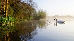 Oasis of Serenity (Mark BJ) Tags: daisynook countrypark crimelake swan spring goldenhour reflection trees failsworth manchester uk oldham fishingplatform mist water cygnusolor