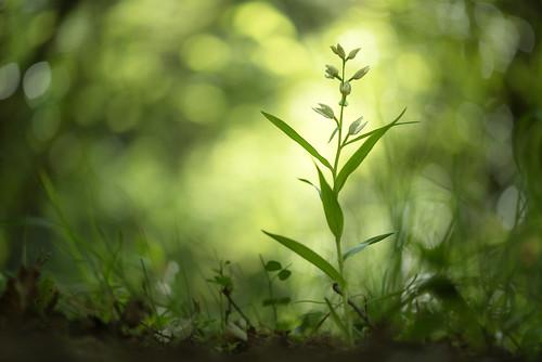 Céphalanthère à longues feuilles ( Cephalanthera longifolia )