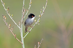 A male Sardinian Warbler (E P Rogers) Tags: bird black head red eyes sylvia warbler mediterranean greece kos