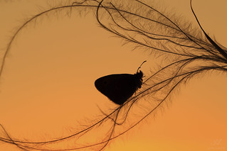 Meadow Brown in the Sunset