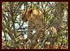 LEOPARD (Panthera pardus) ...MASAI MARA.....SEPT 2013 (M Z Malik) Tags: nikon d3x 200400mm14afs kenya africa safari wildlife masaimara kws exoticafricanwildlife exoticafricancats flickrbigcats leopard ngc npc