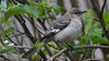 Northern Mockingbird (michaelf133) Tags: northern mockingbird bird songbird wildlife beak bill taill birdwatching creatures photography nikon d3100 70300mm