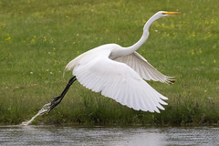 Great Egret 5-27-2017-105 (Scott Alan McClurg) Tags: aalba ardea ardeidae flickr animal back backyard bird bluesky flap flapping flight fly flying greategret land landing life nature naturephotography neighborhood portrait spring suburban urban white wild wildlife
