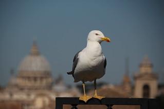 A gull named Rodney