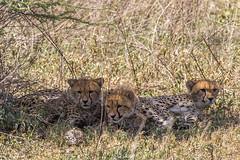 What's that? (Ring a Ding Ding) Tags: 2017 acinonyxjubatus africa bigcat leopardtortoise ndutu nomad serengeti tanzania cat cheetah cubs nature predator safari wildcat wildlife arusharegion ngc
