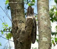 """pajaro troncon norteño Northern Potoo """"Nyctibius jamaicensis"""" (Erick Manuel Hernandez /Observador de Aves de El S) Tags: nyctibiusjamaicensis pajarotroncon northernpotoo avesdeelsalvador"""