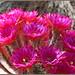 Cactus Blooms...