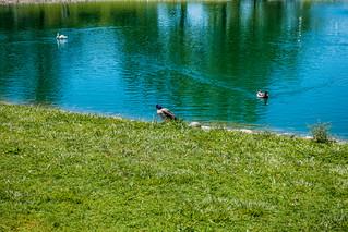 Day at the park - Mallard