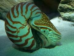 Perlboot, Nautilus (to.wi) Tags: wilhelma zoo towi perlboot nautilus