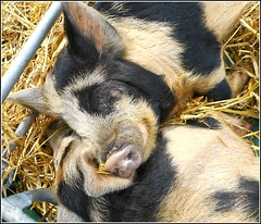 Togetherness ... (** Janets Photos **) Tags: uk hull cities events animals pigs hogs swine