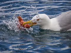 fishing for lunch.... (Artbywigs) Tags: 2017 may corfu greece holiday nature wildlife gull fishing fish red redsnapper