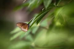Butterfly   Common Crow (vjsankar) Tags: butterfly commoncrow canon canon6d tamron tamron150600mm nature green kerala trivandrum vellayani punchakkari