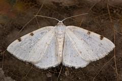 White-pinion spotted moth (Lomographa bimaculata) (Ian Redding) Tags: british european geometridae lepidoptera lomographabimaculata uk whitepinionspotted fauna geometer insect moth nature white wildlife