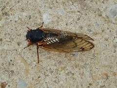 Early Cicada (Happy Monkey) Tags: periodicalcicada seventeenyearcicada 17yearcicada cicada magicicada