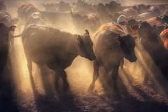 Restless cattle at sunset (PeterThoeny) Tags: coalinga california farm cattle cattlefarm backlight dust motion lights lightandshadows shadow outdoor dusk sunset 1xp nex6 sel55210 raw photomatix hdr qualityhdr qualityhdrphotography backlighting fav500