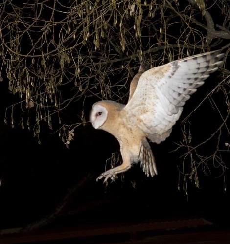 Western Barn Owl , sub-adult flying to nest box