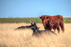 Grazing Cattle (ap0013) Tags: newmexico nm cattle cow grazing plains clovis clovisnewmexico