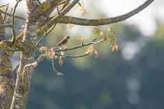 Linotte mélodieuse (Carduelis cannabina) (aurelien.ebel) Tags: alsace animal aves basrhin birds cardueliscannabina commonlinnet france fringillidae fringillidés lawantzenau linottemélodieuse oiseau passériformes