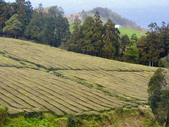 Tea Plantation (moacirdsp) Tags: tea plantation chá gorreana maia ribeira grande são miguel açores portugal 2017
