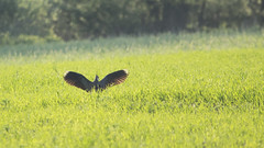 Lapwing (GreenLena) Tags: lapwing bird meadow sunset spring poland flicker light