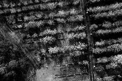 Jean-Marie et ses pruniers 9 (C'est géant!) Tags: drone jeanmarie bergeron simon emond fleur alcool vin prune verger metabetchouan saguenaylacsaintjean lacsaintjean saguenay