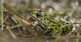 A frog and his bokeh / La grenouille et sont bokeh